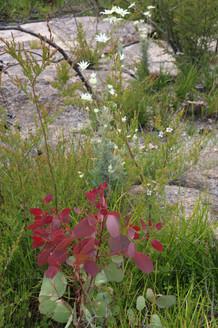 Eucalyptus new growth