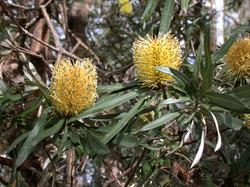 Banksia integrifolia var compar flowers
