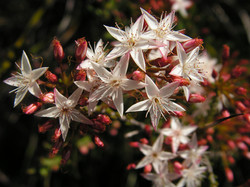 MY Calytrix tetragona (Heath myrtle)