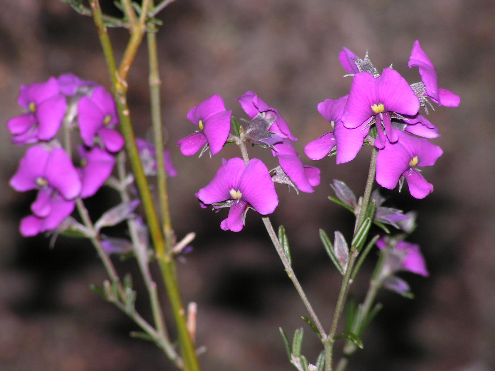 FB Mirbelia speciosa subsp.speciosa (Showy mirbelia)
