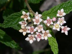 HERB STER Rulingea hermaniifolia (Wrinkled Kerrawang)