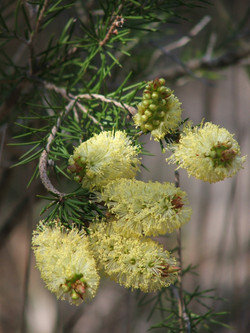 MY Melaleuca pityoides (Alpine bottlebrush)