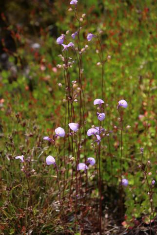 Utricularia dichotoma - fairy aprons