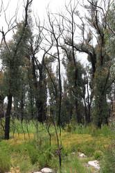 Eucalypts recovering over Velleia paradoxa