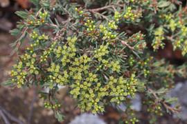 Homoranthus papillatus - mouse bush