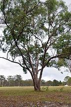 Pg142 Eucalyptus dalveenica.JPG