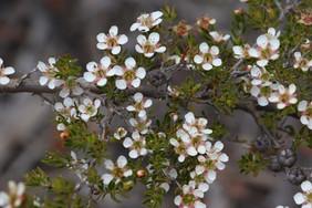 Leptospermum novo-angliae - New England tea tree