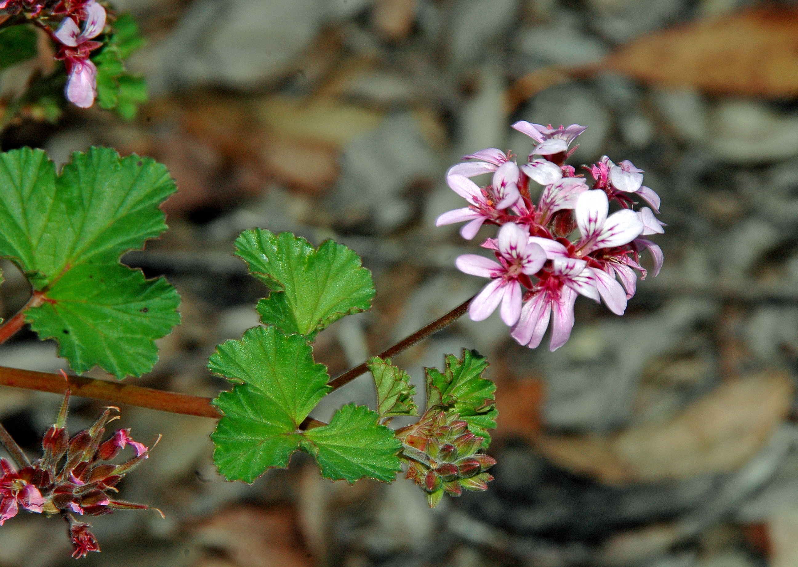 HERB GER Pelargonium australe