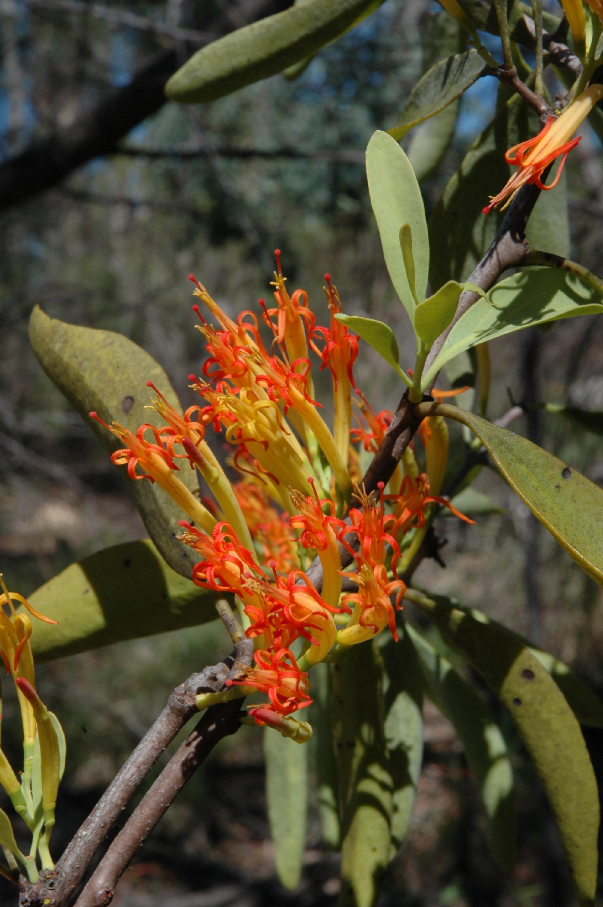 PARA Dendrophthoe glabrescens (Mistletoe) - flowers