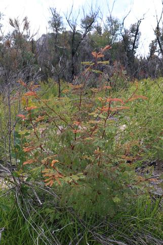 Acacia latisepala - new growth