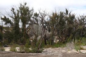 Eucalyptus scoparia - Wallangarra white gums (recovering)
