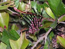 Grevillea scortechinii IM5374Cottonvale.