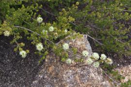 Kunzea bracteolata - white kunzea