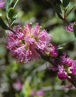 MY Melaleuca thymifolia (Thyme honey myrtle)