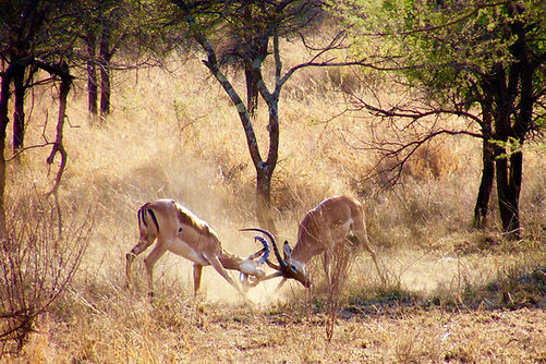 impala fight.jpg