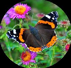 NQ Papillon.png