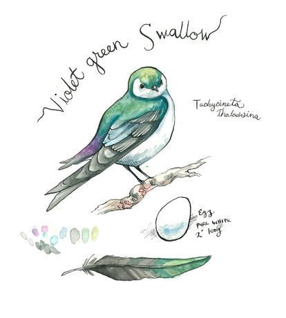 Violet Green Swallow, 2019
