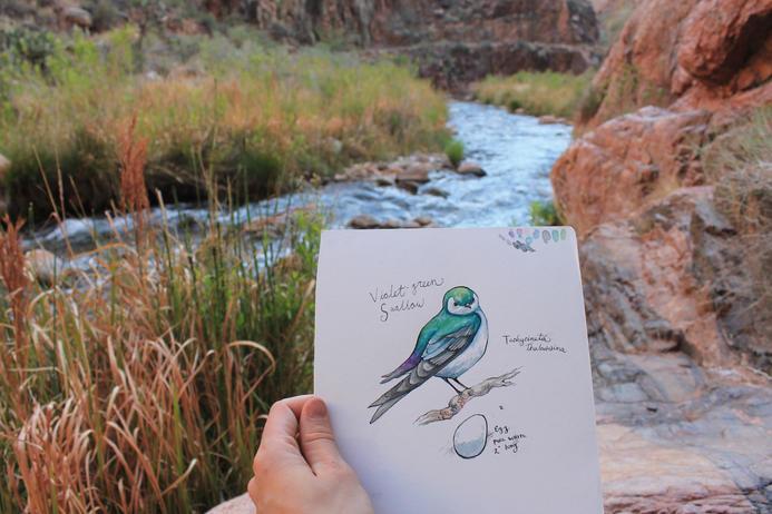 Violet Green Swallow Study in Phantom Ranch
