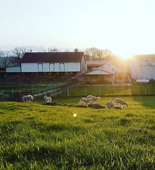 Barn and Lambs.jpg