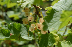 white berries at oppa's garden
