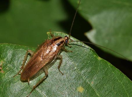 Qual o veneno bom para matar baratas?