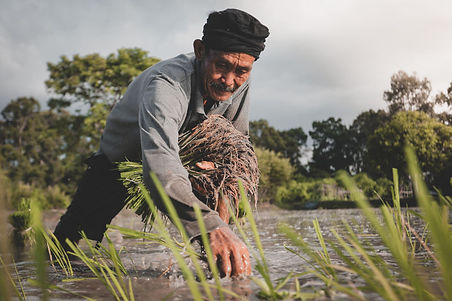 An elderly Indonesian farmer sowing rice plants in a padi field