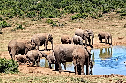 Chobe elephants at waterhole.jpg
