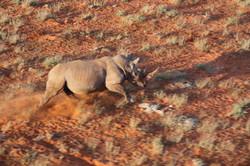 White Rhino On Run 2