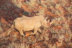 White Rhino On Run