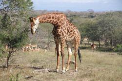 Giraffe Image for Website