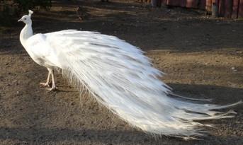 Niagara (White Peacock)