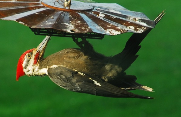 Pileated Woodpecker is a frequent visitor.