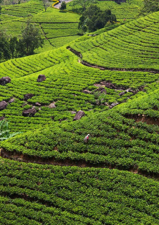 teafarm.jpg
