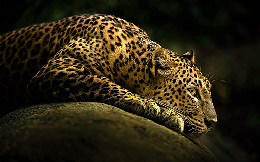 Download-HD-leopard-backgrounds_edited.j