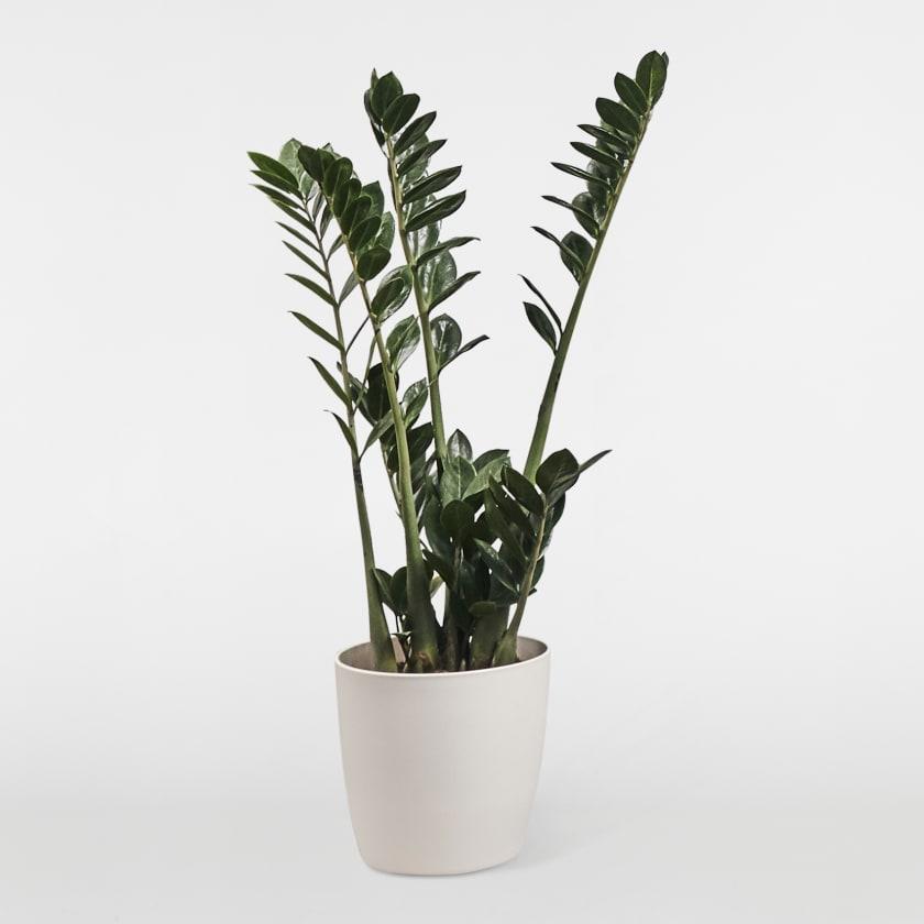 Cassie - ZZ Plant