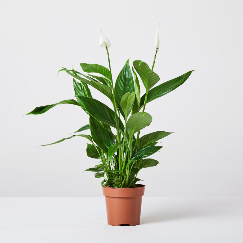 peace lily in a pot, perfect for bathroom without a window