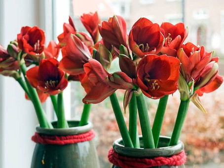 How to Plant Your Autumn Flower Bulbs Indoors
