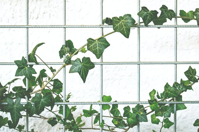 English Ivy plant that helps with mould