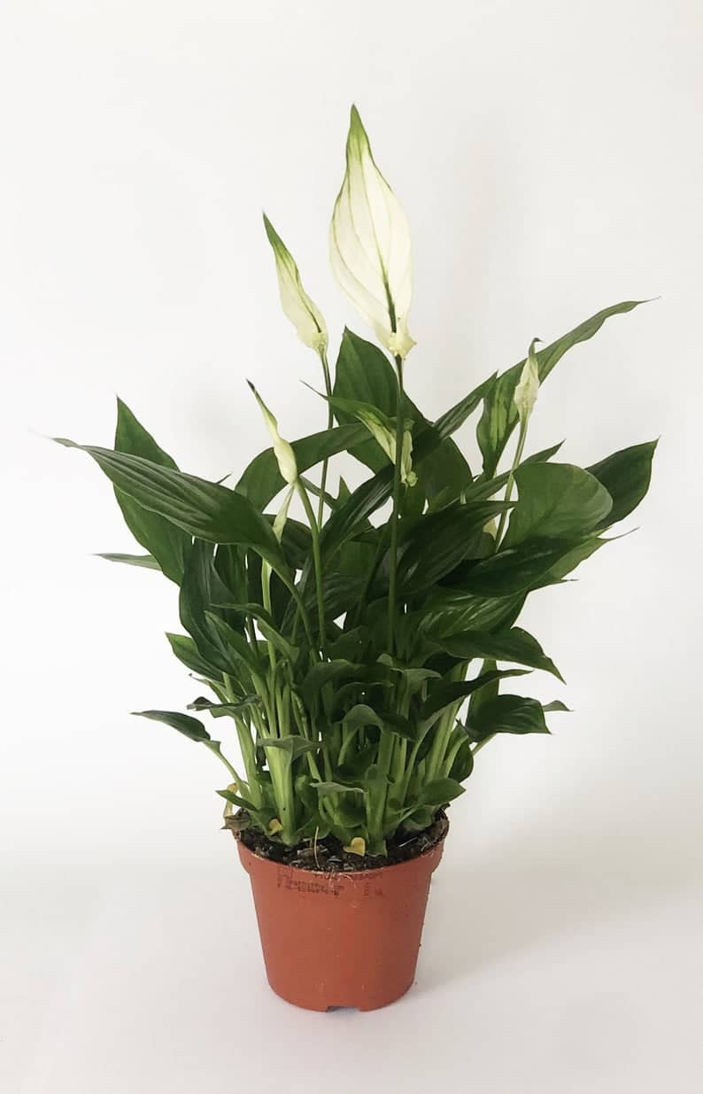 potted Peace Lilly with blooms. Click on the image to shop from Etsy maker.