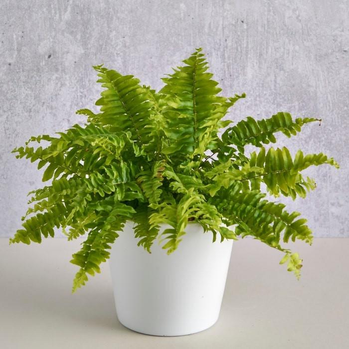 Boston fern potted in white pot