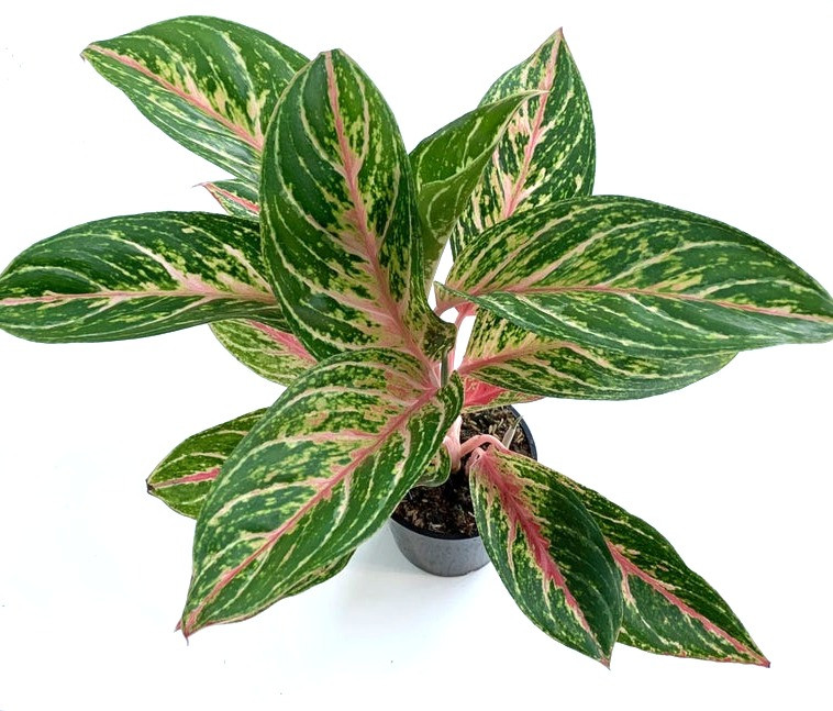 low light plants Aglaonema - Chinese Evergreen, perfect for bathroom without windows