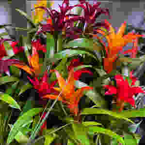 Bromeliads tropical indoor plants great for reducing air humidity at home