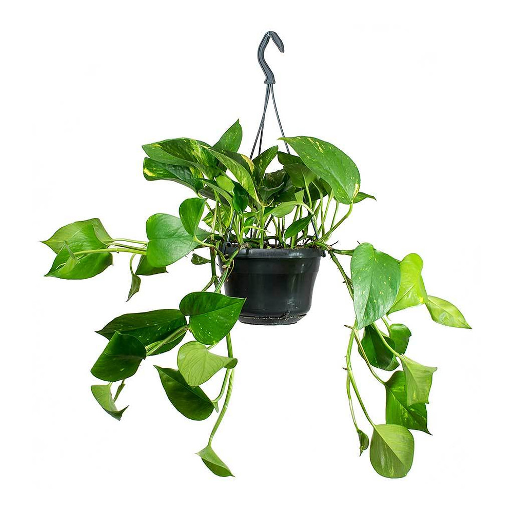 golden pothos, perfect indoor plant for low light conditions, even in windowless bathroom