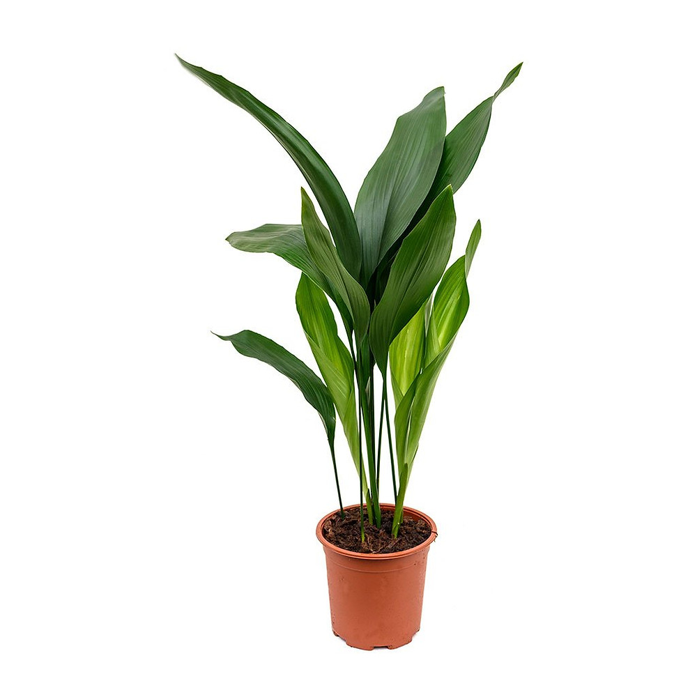 Aspidistra cast iron plant perfect for low light bathrooms without a window
