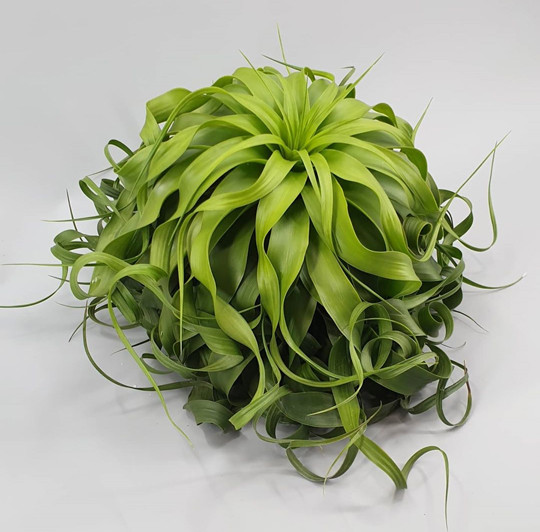 Tillandsia humidity absorbing houseplant.