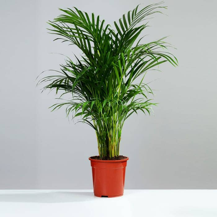 Potted Areca Palm. Click on the image to shop the palm from gardeningdirect.co.uk