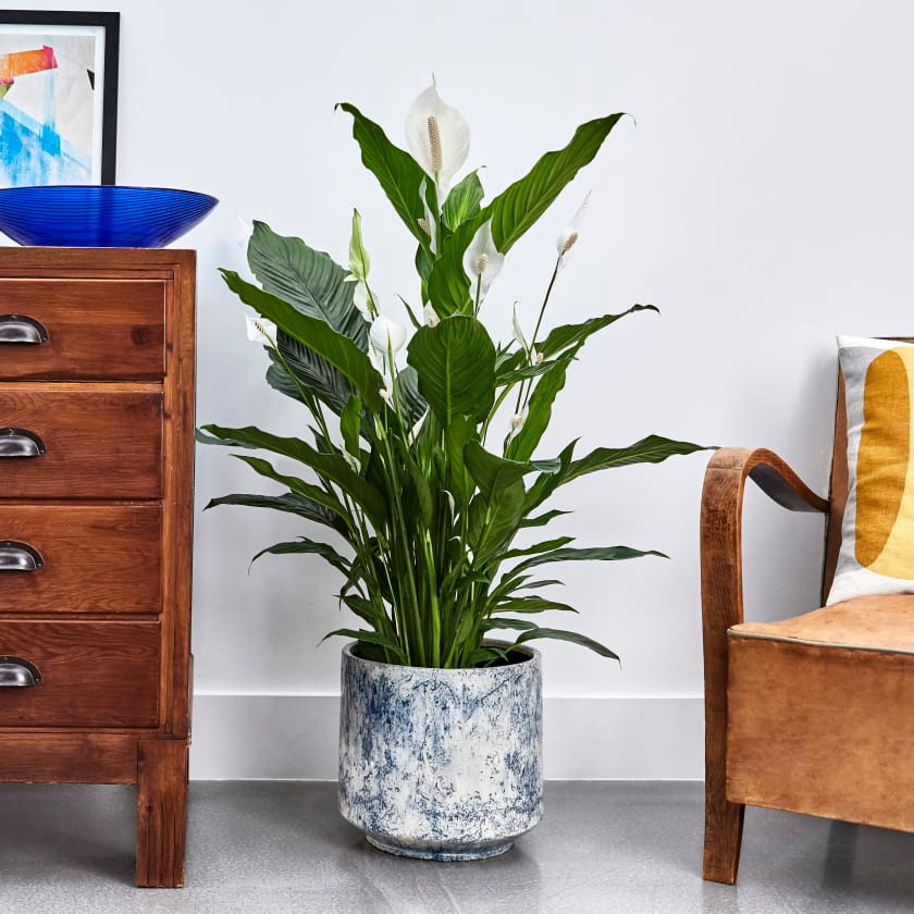 Indoor plants that absorb humidity. Peace Lily in a pot reducing humid and mould at home