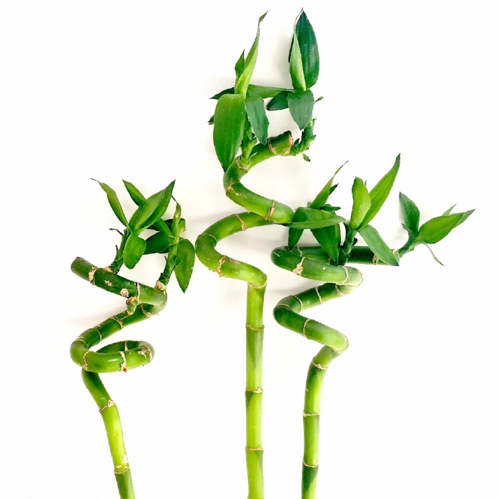 lucky bamboo. low light indoor plant