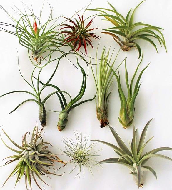 collection of air plants, perfect for low light rooms like bathroom without a window