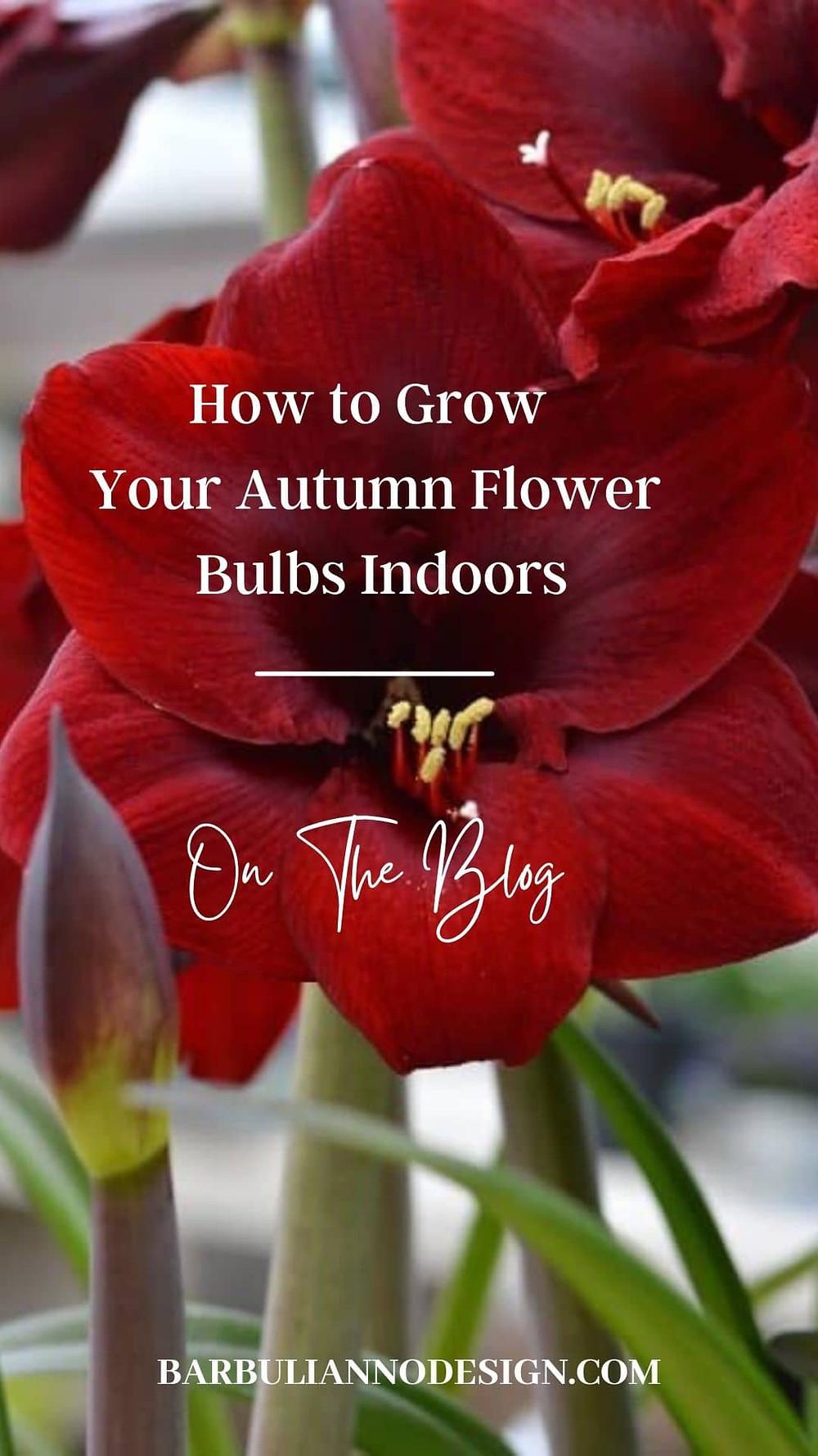 How to grow autumn flower bulbs indoors